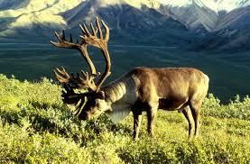 rondane reindeer