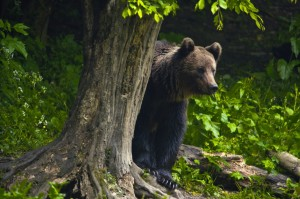 rez bear