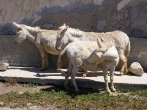 Albino donkeys