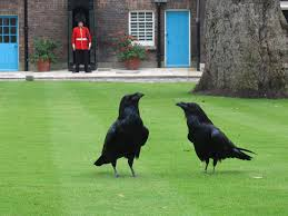 d ravens