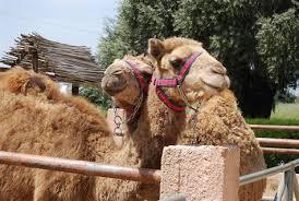lar camel
