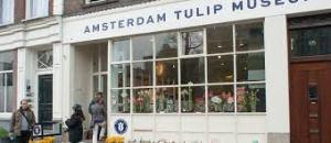 am tulip