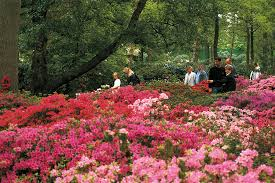 bremen rhodedendron