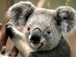per koala 2