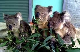 per koala