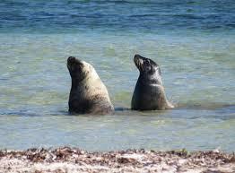 al sea lion
