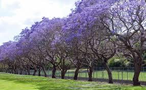 hy purple