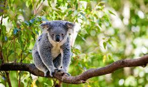 per koala now