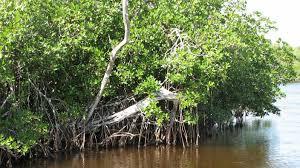 wa mangrove