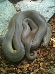 wa olive python