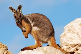 wa rock wallaby