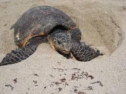 wa turtle