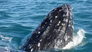 wa whale