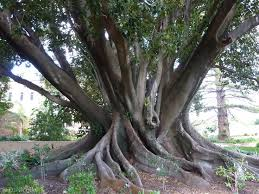 ad fig tree 2.jpg
