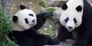 ad pandas