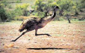 al emu