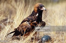 al spinifex buzzard