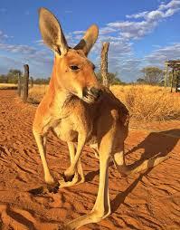 al spot kangaroo