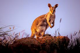 al spot wallabie