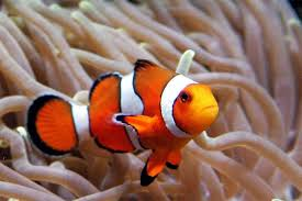 ca clown fish