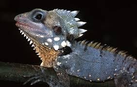 ca daintree rainforest dragons