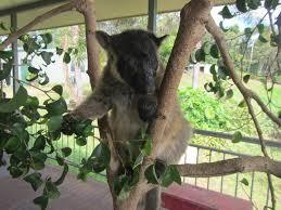 ca daintree tree kangaroo