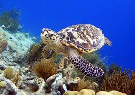 ca hawsbill turtles