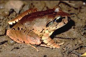 lis barred frog