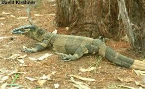 lis meb lizard
