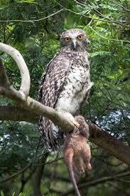 lis meb owl
