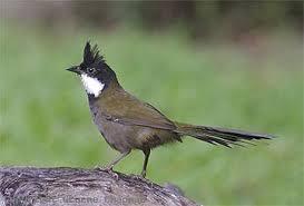 lis whipbird