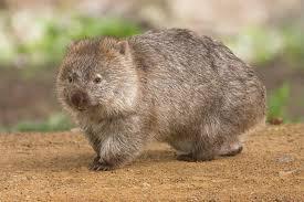 flin wombat