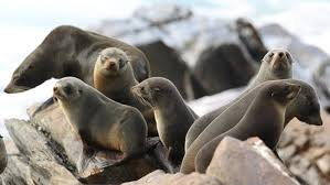 geo fur seal colony