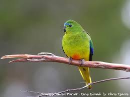 king naarcoopa parrots