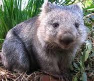 hob bruny wombat