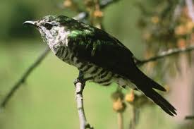 keri forest cuckoo