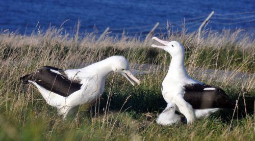 dun albatross 2