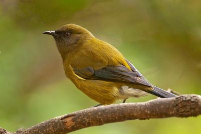 dun botanic bellbird