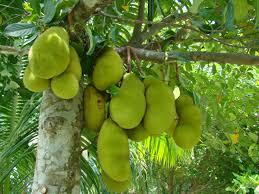 jogi jackfruit