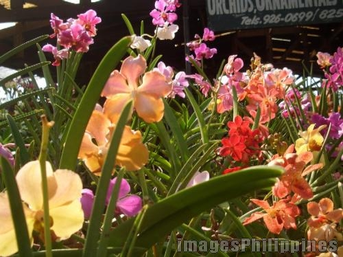 man rizal orchids
