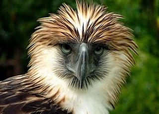 que eagle
