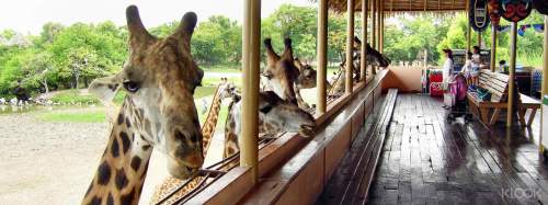bang SafariWorld girrafs
