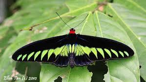 ipo raffelisia butterfly