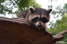 ipo ruby racoon
