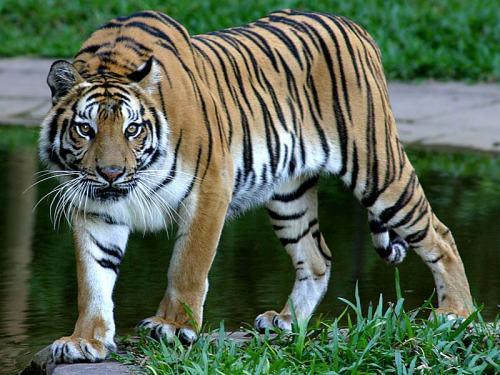 ipo tambun tiger
