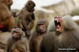 sing zoo baboons