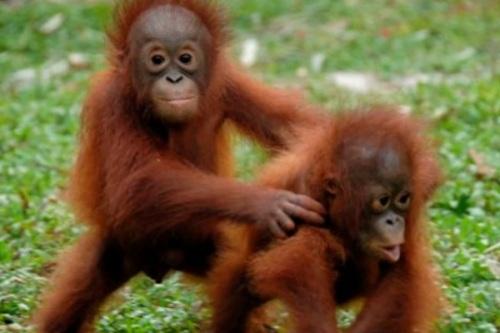 tai orangutan 2