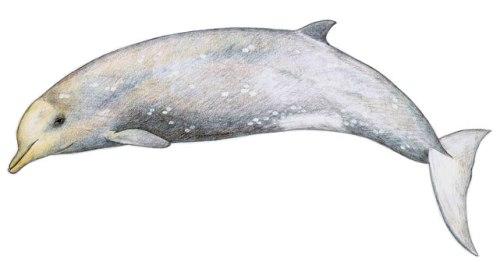 male beaked whale