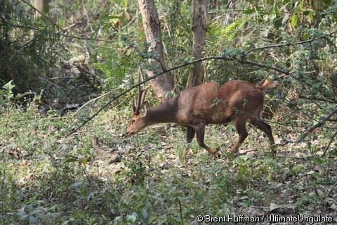 yan hog deer