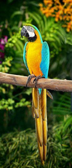 dar zo macaw
